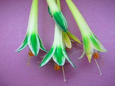 Stenomesson variegatum Yellow - 3 bulbs - Awesome and rare!