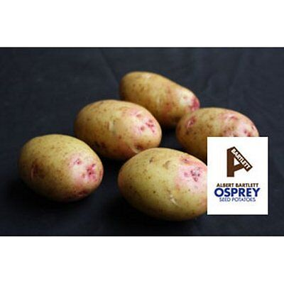Osprey 2nd Early Seed Potatoes 2kg