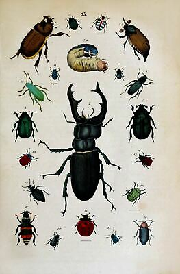 18th Century Natural History Print of Insects Picture Reprint