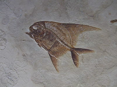 AIPICHTHYS VELIFER with PTEROCOMA PINNULATUS fossil