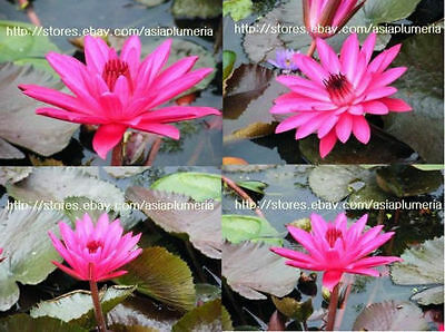2 LIVE RED FLARE WATER LILY PLANTS BULB LOTUS + Free Phyto Document