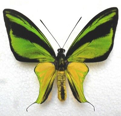 Butterfly ORNITHOPTERA MERIDIONALIS f. CONFLUENTA (Timika; mounted male) - TOP