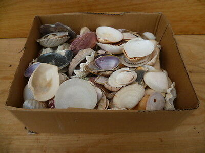 Old Large Lot, Box Full Of Sea Shells Old Craft Shells Collection (C371)