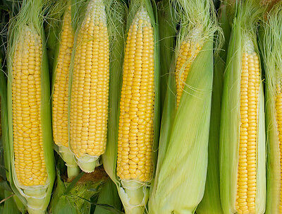 CORN Sweet Golden Bantam 50 seeds ORGANIC Vegetable garden Heirloom -NON GMO-