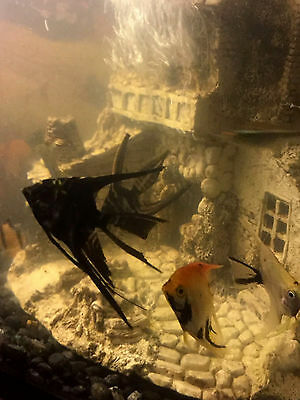 """1"""" """"AngelFish,"""" 5 Assorted Multi Package  - (Qty. 1)"""
