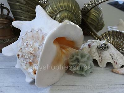 Stunning Natural Vintage Sea Shell Conch Large 26 x 21cm Display Wedding