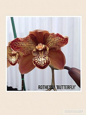 Cymbidium Orchid Rothesay 'Butterfly' - New Releasse Peloric