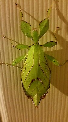 Leaf insects Phyllium philippinicum x 1nymphs