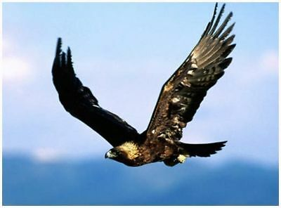 Golden  Eagle  FRIDGE MAGNET