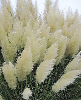 White Feather Pampas Grass 50+ Seeds Cortaderia Selloana Ostrich Feather Plants