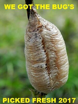 1 European Praying Mantis Egg Cases + HATCHING BAG. Chemical-free insect control
