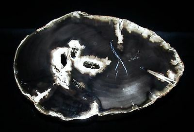 ELM - SWEET HOME OREGON with excellent preservation Polished Petrified Wood