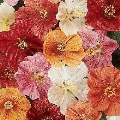 15+  Abutilon Bella Flower Seeds Mix / Perennial  / Flowering Maple