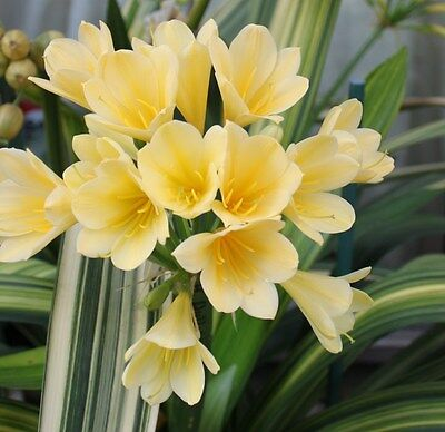 Rare Variegated Clivia with Yellow Flower Seeds 2017