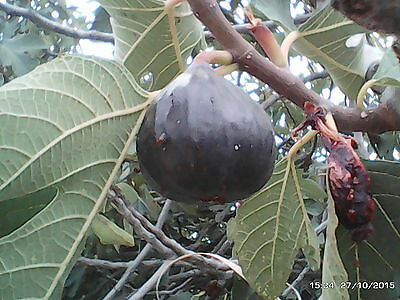 ficus - figs (Unknow variety) Big black juicy fruits -red flesh * special offer!