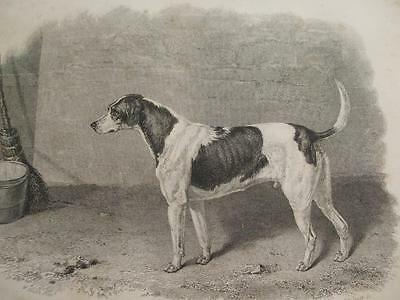 1839 ENGRAVING HARLEQUIN FOX HOUND by J R Scott Painting By W Smith