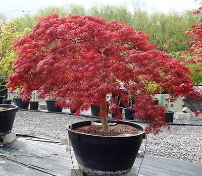 acero rosso giapponese palmato 100 semi seeds acer red japan
