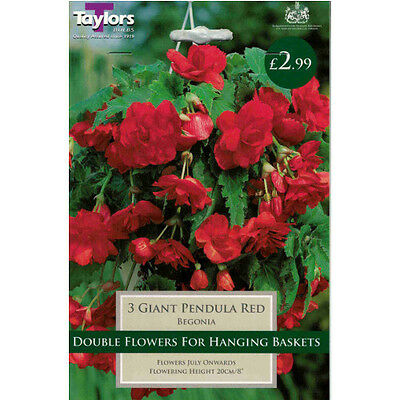 Giant Pendula Red Begonia Bulbs by Taylors