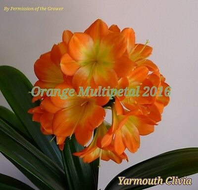House Plant - Clivia  - Multi x Cheryl - 2 Sprouted Seeds