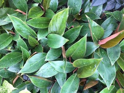 """Philodendron """"Rojo Congo"""" -20 Plants low maintenance hardy indoor tropical shade"""