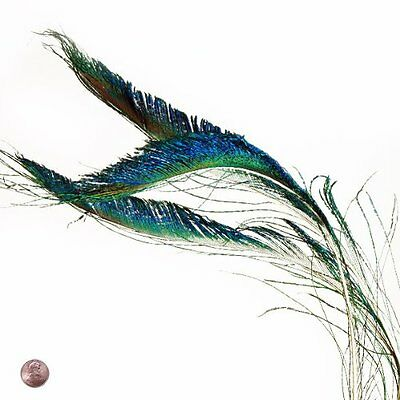 Peacock Sword Feather (10 Per Pack)