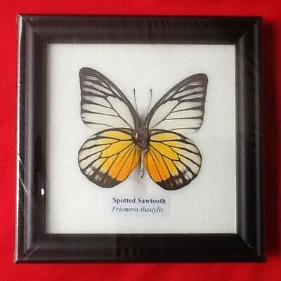 Real Yellow Spotted Sawtooth Butterfly Taxidermy Insect Picture Frame Entomology