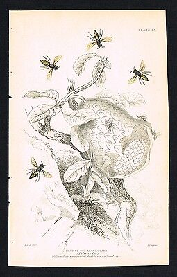 1845 Antique Print - Nest of the Lecheguana bees, Insects, Hand-Colored
