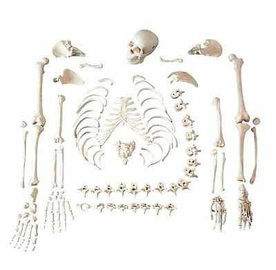 Anatomical Chart Co. Full Disarticulated Budget Skeleton With Skull Item #: