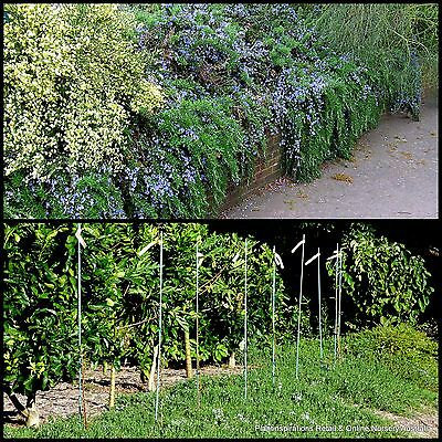 8 Rosemary Blue Lagoon Groundcover Herb Hardy Plants Flowers officinalis Herbal