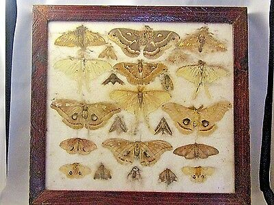 Vintag SHADOW BOX FRAMED MOTH'S TAXIDERMY BUTTERFLY COLLECTION DISPLAY SPECIMEN