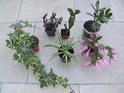 PLANTS, 6 House Plants -local delivery or collect Surrey