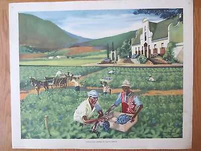 VINTAGE CLASSROOM POSTER 1950s Harvesting Grape South Africa Vineyard Macmillans
