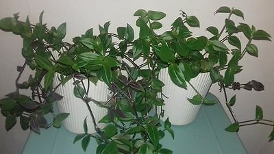 TRADESCANTIA house plant small leaf Fluminensis potted in  Tall IKEA Tub,