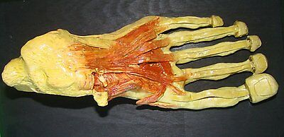 Very Rare Antique Anatomy Model In Wax Of Foot
