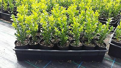 ENGLISH BOX HEDGE / BUXUS. Forty 75mm (3inch) pots per tray