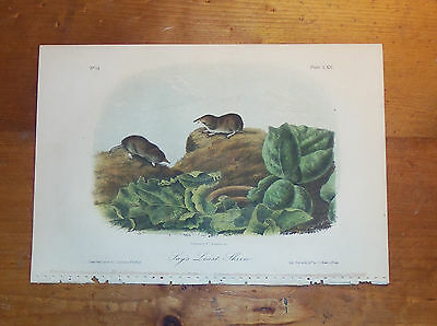 "1989 Vintage /""SAY/'S LEAST SHREW/"" A LOVELY AUDUBON COLOR MAMMAL Art Lithograph"