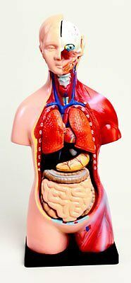 Human Mini Torso Model 42 Centimeters Tall