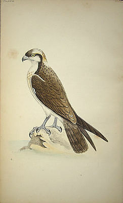 Meyer Bird Print - Osprey: Antique Original Hand Coloured Lithograph 1842