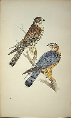 Meyer Bird Print - Merlin: Antique Original Hand Coloured Lithograph 1842