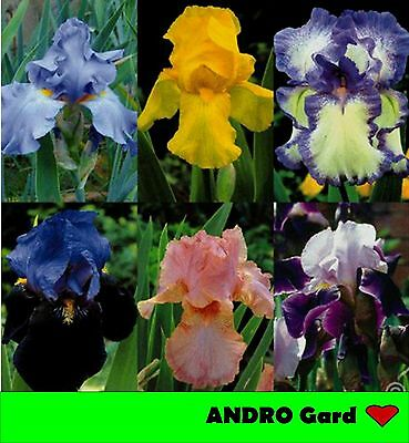 100+ Exotis Color Rare orchid Iris germanica Seeds