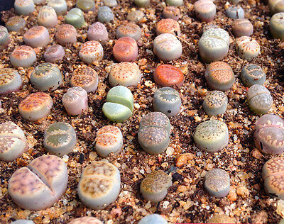 Lithops species mix 10,50,100 seeds  succulent cactus living stones CombSH C71