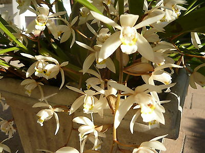 1x Coelogyne Unchained Melody orchid plant