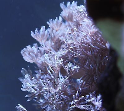 white pulsing xenia  frag  WYSIWYG Soft coral FRAG on small rock  - attached