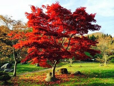 50 seeds semi acero rosso giapponese japan acer palmatum