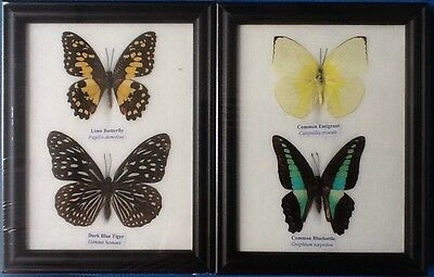 4 Real Butterflies 2 Picture Frame Butterfly Taxidermy Insect Entomology 8