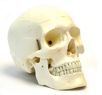 Human Skull Anatomical Model, Medical Quality, Life Sized (23cm Height) - 3 Part