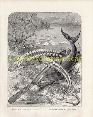 Shovel Fish, Spoonbill Sturgeon - Antique Art Print Engraving Fish Reptile 1863