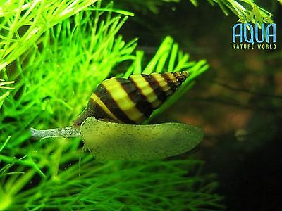 5 x Assassin Snails Clea Helena Adults  Tropical Aquarium live fish not cherry