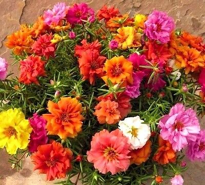 Moss Rose Double Portulaca Grandiflora mix color 10,000 seeds Comb S/H B84