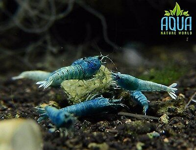 3 x Blue Bolt shrimp group Algae Clean Up Tropical Aquarium live fish
